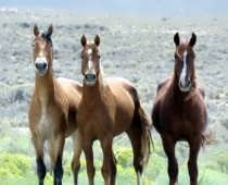 Wild horsebeauty1