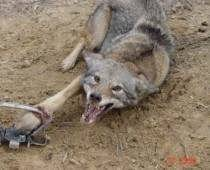 Animal Traps ~ This must END!