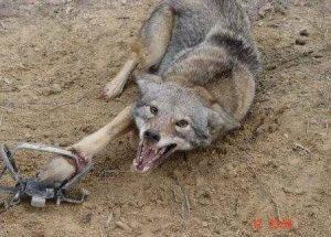 wolf-leg-hold-trap-1