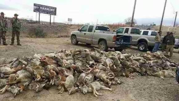 Coyote killing contest Colorado