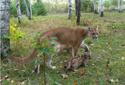 The Secret Life of Mountain Lions