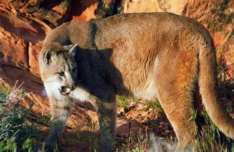 Cougar plan causes uproar among conservationists