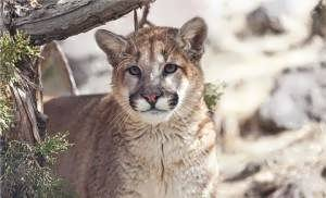 Oregon's war on mountain lions