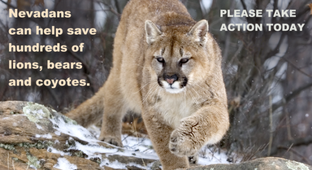 Nevadans Can Help Save Hundreds of Lions,  Bears and Coyotes