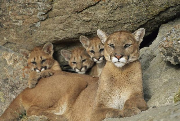 NDOW SUED OVER UNNECESSARY KILLING OF MOUNTAIN LIONS, COYOTES AND RAVENS