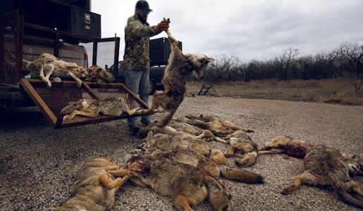 The carnage of coyote-killing contests